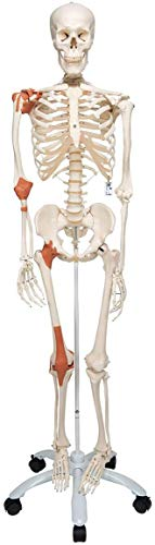 3B Scientific Human Anatomy - A12 Skeleton Model with Ligaments from 3B Scientific