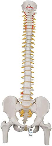 3B Scientific Human Anatomy - Classic Flexible Spine Model with Femur Heads from 3B Scientific