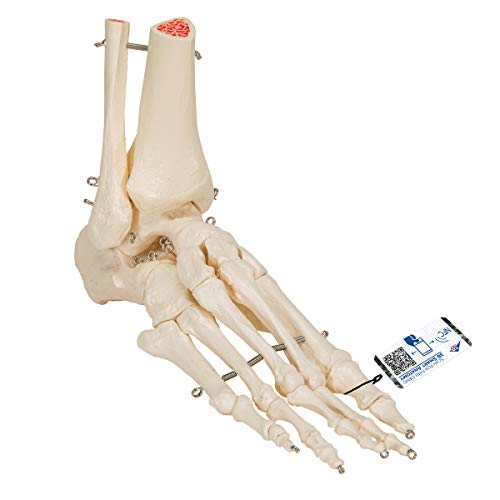 3B Scientific Human Anatomy - Foot and Ankle Skeleton Model from 3B Scientific