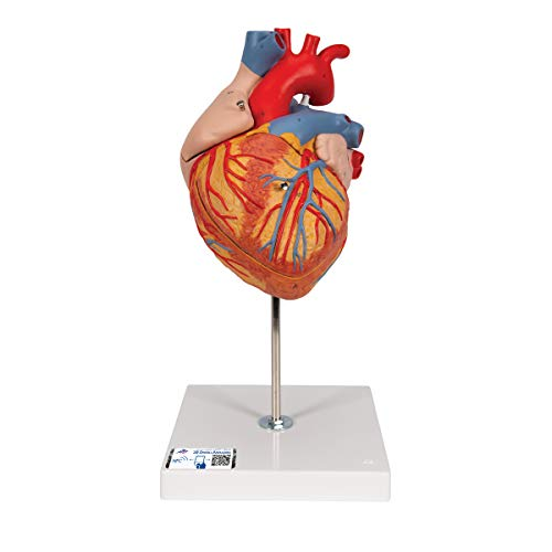 3B Scientific Human Anatomy - Heart Model, 2 Times Life Size, 4 Part from 3B Scientific