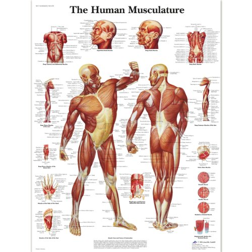 3B Scientific Human Anatomy - Human Musculature Chart, Laminated Version from 3B Scientific
