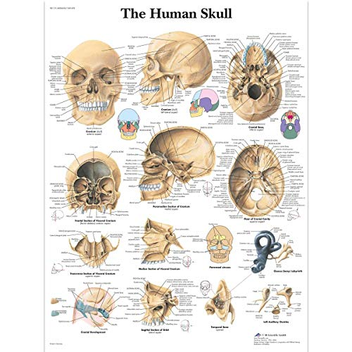 3B Scientific Human Anatomy - Human Skull Chart, Paper Version from 3B Scientific