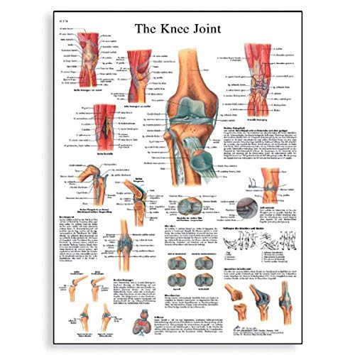 3B Scientific Human Anatomy - Knee Joint Chart, Paper Version from 3B Scientific