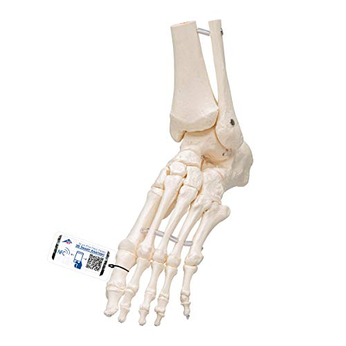 3B Scientific Human Anatomy - Loose Foot and Ankle Skeleton Model from 3B Scientific