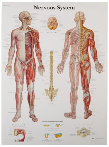 3B Scientific Human Anatomy - Nervous System Chart, Paper Version from 3B Scientific