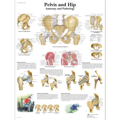 3B Scientific Human Anatomy - Pelvis and Hip Chart, Laminated Version from 3B Scientific