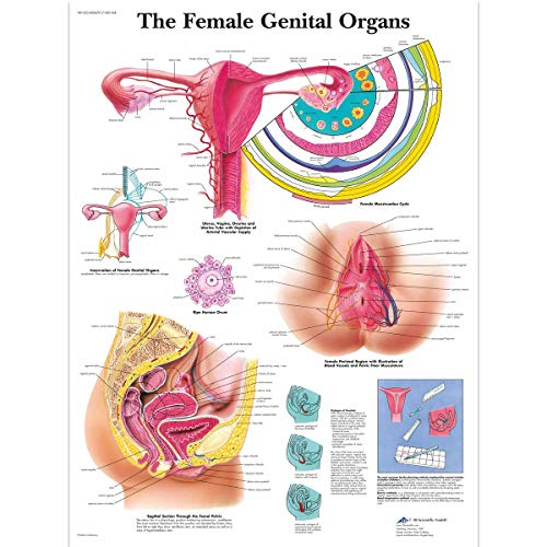 3B Scientific Human Anatomy - The Female Genital Organs Chart, Paper Version from 3B Scientific