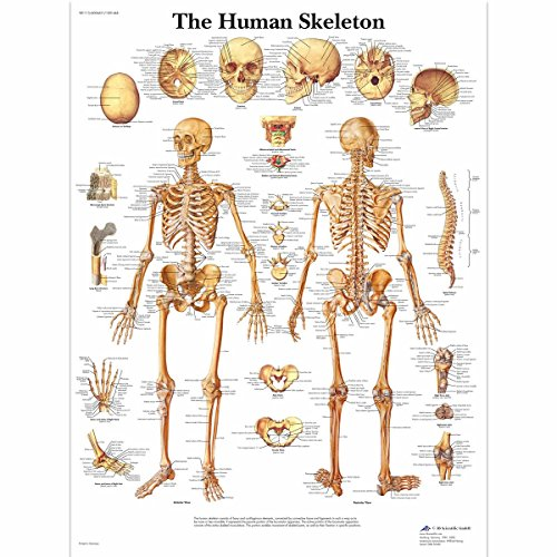 3B Scientific Human Anatomy - The Human Skeleton Chart, Paper Version from 3B Scientific