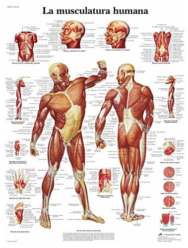 3B Scientific Human Printed on Paper, The Muscles, 1 from 3B Scientific
