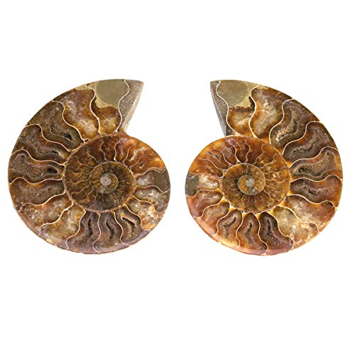 3B Scientific u750101 Ammonite (Cleoniceras), 2 Half Polished from 3B Scientific