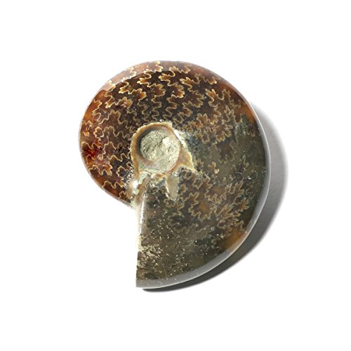 3B Scientific U75015 Ammonite (Cleoniceras), Semi-Polished from 3B Scientific
