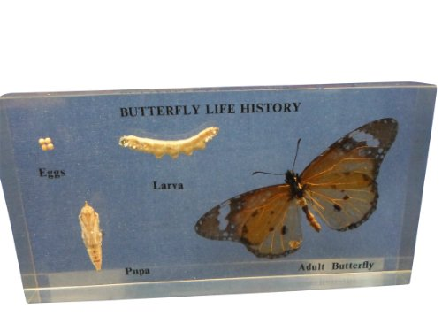 Ajax Scientific BI220-0000 Butterfly Life Cycle Specimen, 12 cm x 6 cm x 2 cm from Ajax Scientific