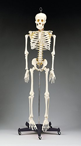 "Anatomical Chart 000000CH95""Budget Bart Skeleton"" Skeletal Model, 127 cm H from Anatomical Chart"