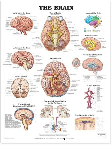 The Brain from Anatomical Chart