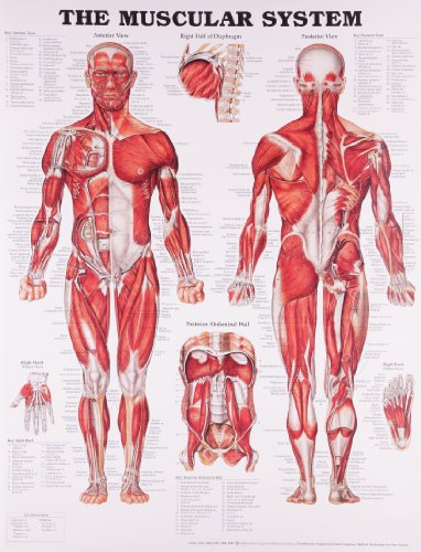 Anatomical Chart The Muscular System from Anatomical Chart