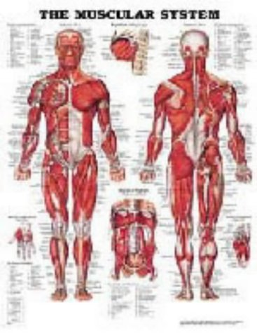 The Muscular System Anatomical Chart (Laminated) from Anatomical Chart