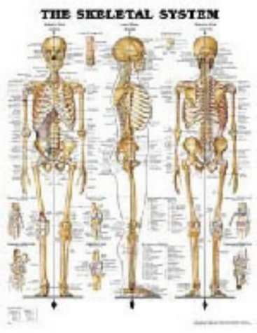 Anatomical Chart The Skeletal System from Anatomical Chart