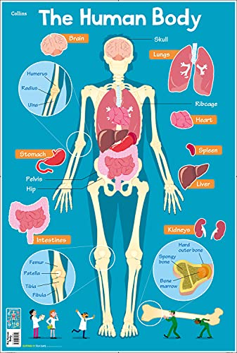 Human Body (Collins Children's Poster) from Collins