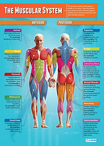 "The Muscular System | Physical Education Chart in high gloss paper (33"" x 23.5"") SHIPS 5-10 DAYS from Daydream Education"