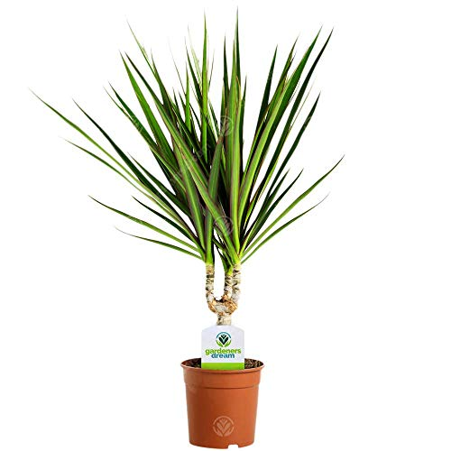 Dracaena Marginata - 1 Plant - House/Office Live Indoor Pot Plant Tree in 11cm Pot from GardenersDream