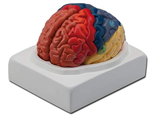 Gima - Anatomical Model of Human Brain, Coloured Regional Brain, Modular in 1 Parts, Magnification from GIMA
