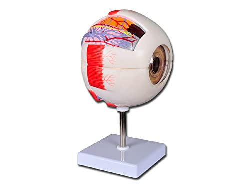 GIMA Eye anatomical model in Six Parts, educational eye model, 6X size from Gima