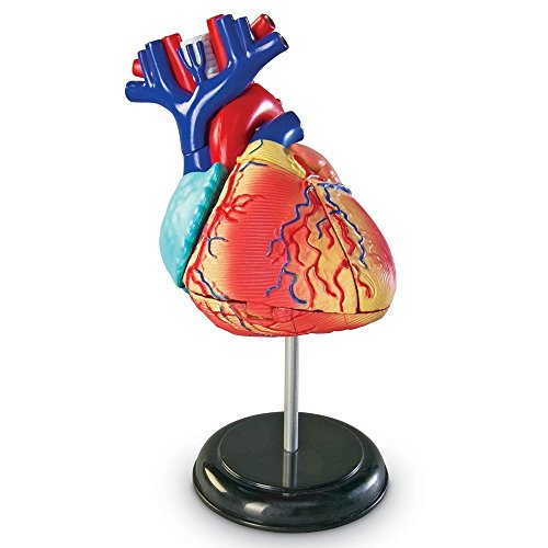 Learning Resources Heart Anatomy Model from Learning Resources (UK Direct Account)