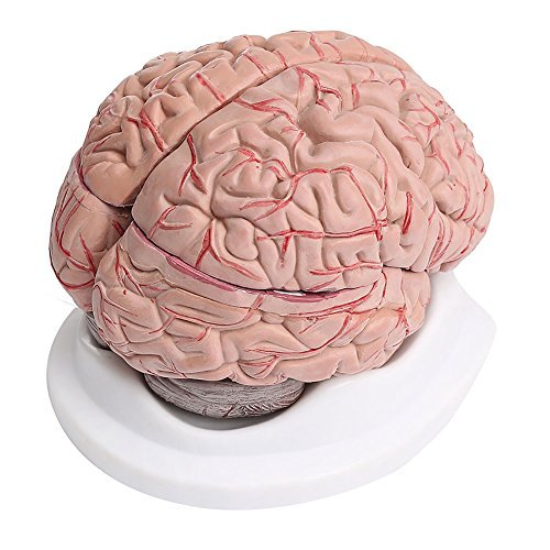 8-Part Human Brain with Arteries Anatomical Anatomy Model from Rancross