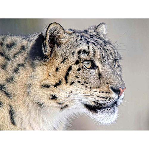 12 X 16 INCH / 30 X 40 CMS SNOW LEOPARD FACE CLOSE UP BIG CAT PHOTO FINE ART PRINT POSTER HOME DECOR PICTURE BMP219B from Wee Blue Coo Prints